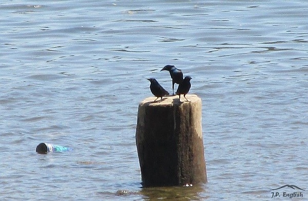 Common grackles contempplating the Mon River (photo by John English)