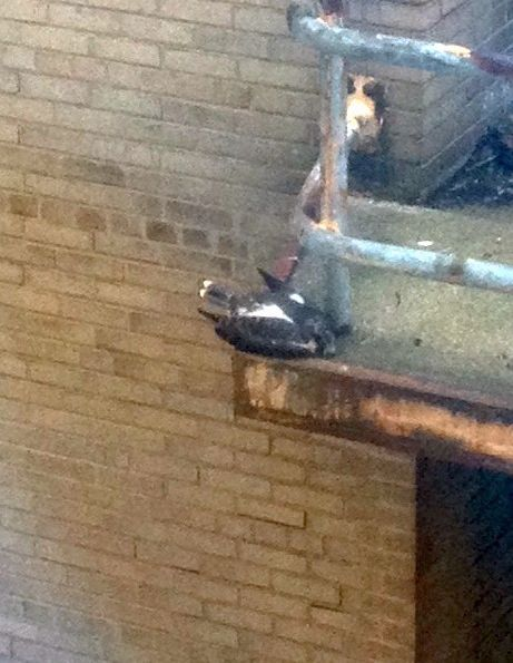 Downtown Pittsburgh peregrine nestling #3 (photo by Marcia Cooper)