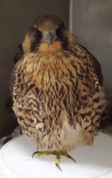 Screenshot of the peregrine nicknamed Silver, 8 July 2015 (courtesy ARL Wildlife Center)