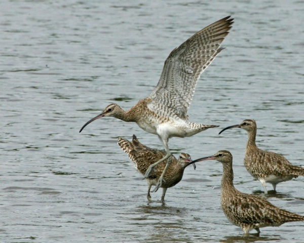 Whimbrels wintering in Singapore (photo by Lip Kee via Wikimedia Commons)