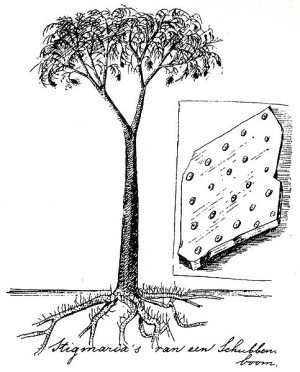 Drawing of Lepidodendron by Eli Heimans, 1911 (image from Wikipedia)