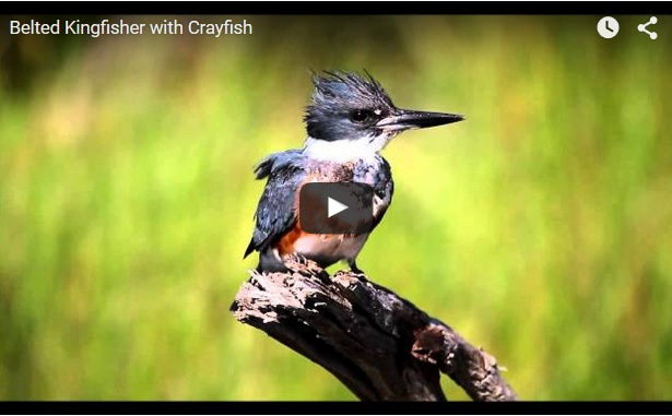Belted Kingfisher (screenshot from YouTube video)