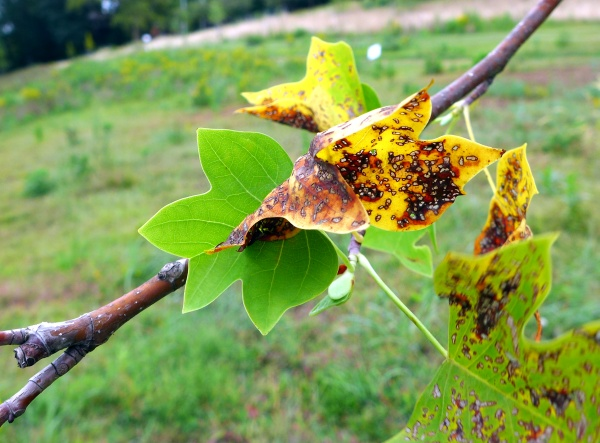 Tuliptree responds to anthracnose by growing new leaves, August 2015 (photo by Kate St. John)